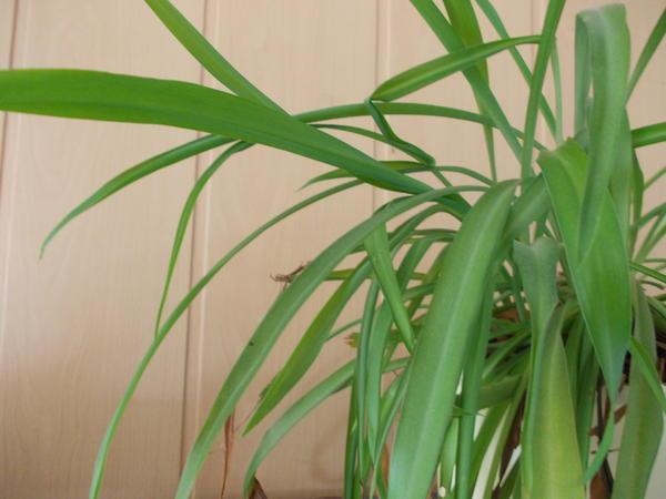 liste zimmerpflanzen giftig und ungiftig seite 15 katzen forum. Black Bedroom Furniture Sets. Home Design Ideas