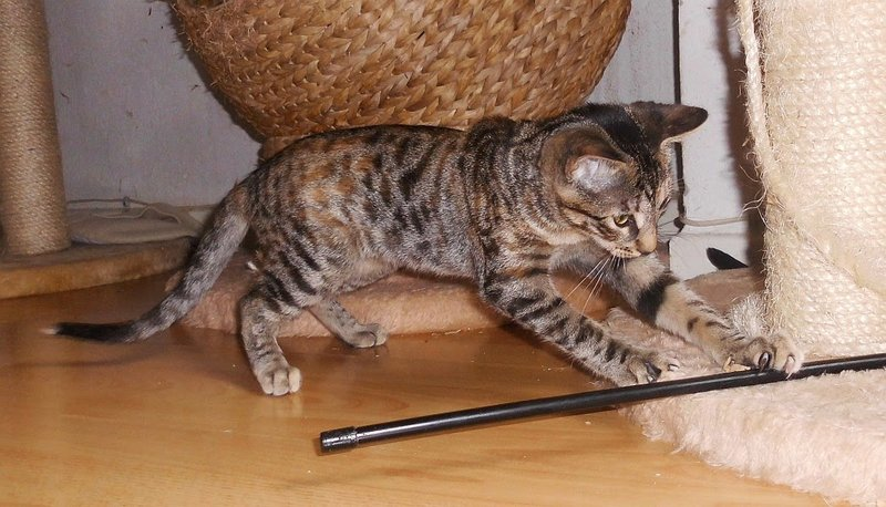 biete spanische kitten auf ps in dortmund katzen forum. Black Bedroom Furniture Sets. Home Design Ideas